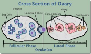 Luteal Phase Corpus Luteum Ovary Diagram