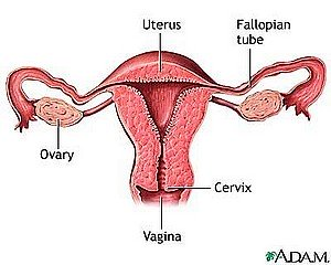 Cross-Section of Female Reproductive System